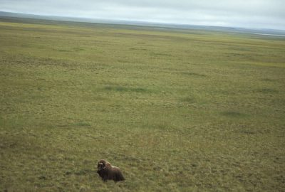 Photo: An aerial of a Musk Ox stranded on Nunivak Island, part of the Yukon Delta NWR, Alaska.