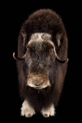 Photo: A musk ox (Obvibos moschatus) at the University of Alaska in Fairbanks, AK.