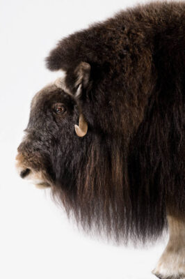 A musk ox (Ovibos moschatus moschatus) at the University of Alaska in Fairbanks, AK.