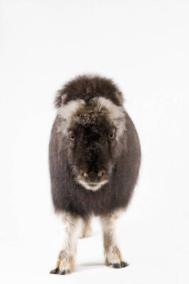 Photo: A juvenile musk ox (Obvibos moschatus) at the University of Alaska in Fairbanks, AK.