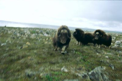 A musk ox bull (Ovibos moschatus) charges at Joel Sartore, on Nunivak Island, Alaska. These animals descended from stock brought in from Greenland in 1935.