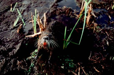 Photo: A nutria, a swamp rodent, bares its teeth in a Louisiana marsh.