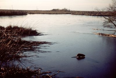 Photo: A nutria crosses a frozen pond at Sabine NWR in Louisiana.