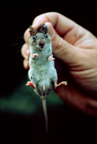 Photo: The endangered Key Largo cotton mouse in the hands of a researcher in Key Largo, Florida.