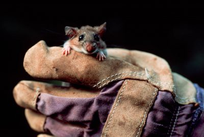 Photo: Key Largo cotton mouse in the hands of a researcher.