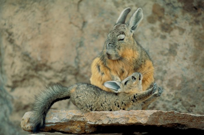 Photo: A juvenile viscacha stretches out after a nap in Chile's Atacama Desert.