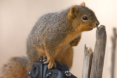 Photo: A squirrel explores a camera set up at Waveland farm near Lincoln, NE.