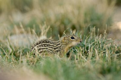 Photo: A 13-lined ground squirrel at the Omaha Zoo.