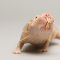 Photo: A naked mole rat (Heterocephalus glaber) at the Lincoln Children's Zoo.
