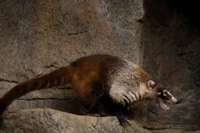 Photo: A coatimundi at the Henry Doorly Zoo.