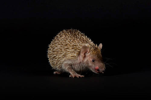 Picture of a tenrec (Echinops telfairi) at the Lincoln Children's Zoo in Lincoln, Nebraska.