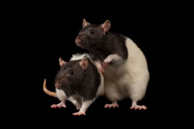 Photo: Domestic rats at the Sunset Zoo.