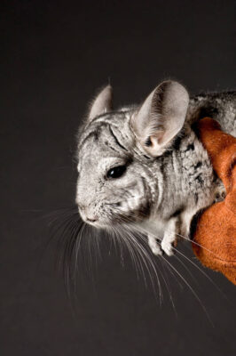 A vulnerable chinchilla at the Sunset Zoo.