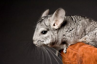 A vulnerable chinchilla (Chinchilla lanigera) at the Sunset Zoo.
