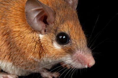 Photo: Spiny Mouse, Acomys cahirinus, at the Sedgwick County Zoo.