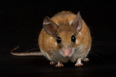 Photo: Spiny Mouse, Acomys cahirinus, at the Sedgwick County Zoo.