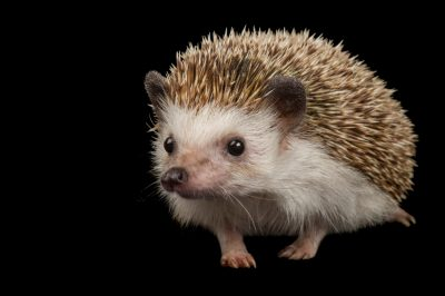 African pygmy hedgehog (Atelerix albiventris) at the Sedgwick County Zoo.
