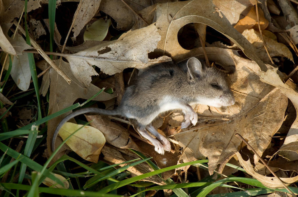 Photo: A dead field mouse on a bed of autumn leaves.