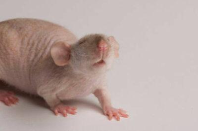 A 'hairless dumbo' domestic rat (Rattus norvegicus) at the Safari Land Pet Store.