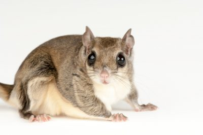 Photo: A southern flying squirrel (Glaucomys volans) at Omaha's Henry Doorly Zoo.
