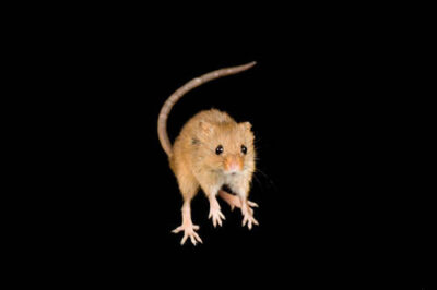 An old world harvest mouse (Micromys minutus) at the Omaha Zoo.