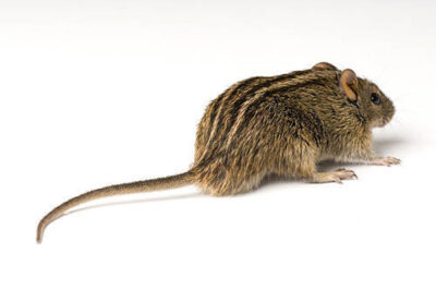Four-striped grass mouse (Rhabdomys pumilio) at the Omaha Zoo.