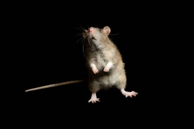 Photo: A domestic rat at the George M. Sutton Avian Research Center.