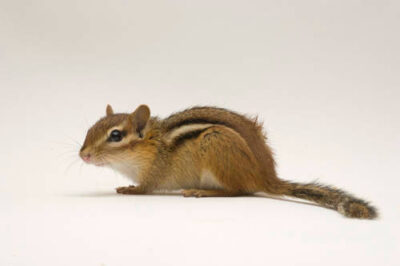 An eastern chipmunk (Tamias striatus fisheri) at the New York State Zoo.