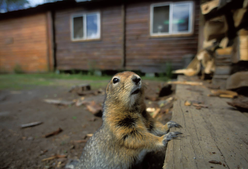 An arctic ground squirrel (Spermophilus parryii) investigates some logs for food in Prudhoe Bay, Alaska.