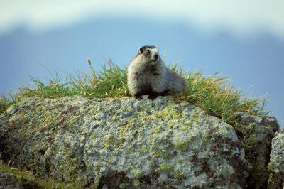 Photo: A marmot in Togiak, Alaska.