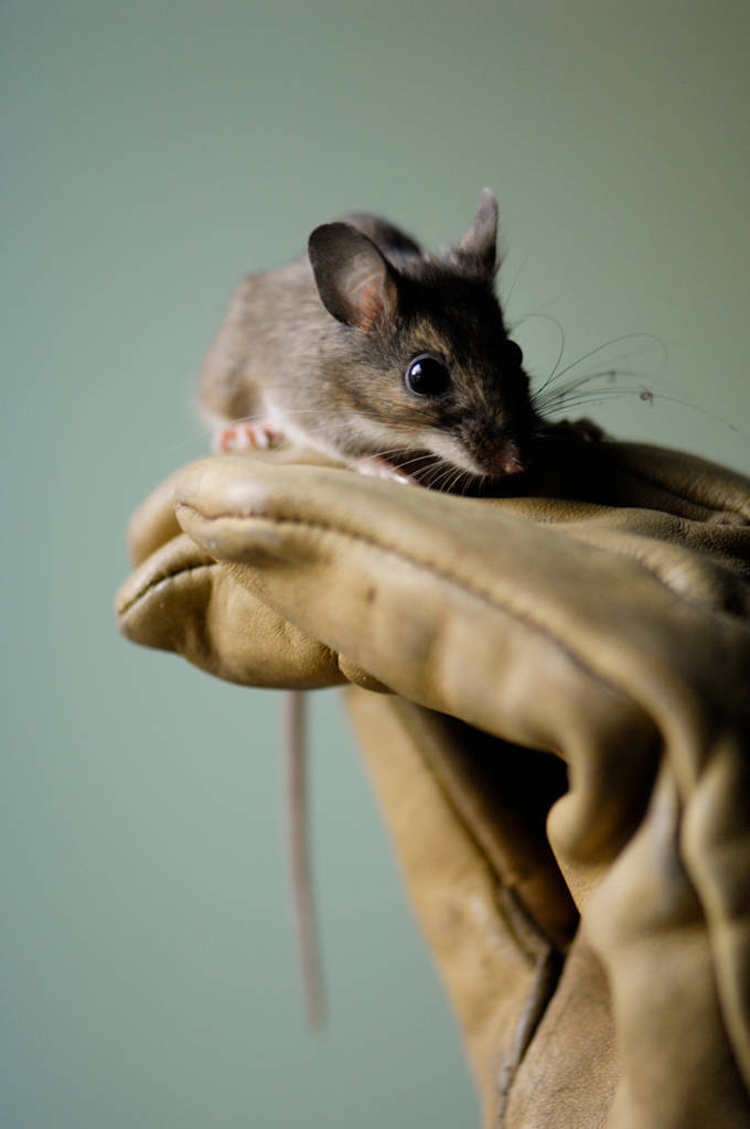 A white-footed mouse (Peromyscus leucopus) at the New York Zoo.