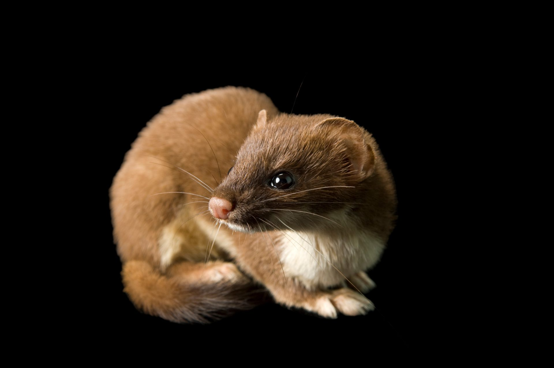 A short-tailed weasel (Mustela erminea cicognanii) at the New York State Zoo.
