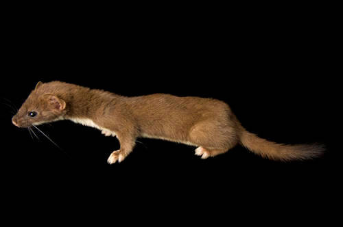 A short-tailed weasel (Mustela erminea) at the New York State Zoo.