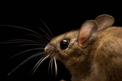 A white-footed mouse (Peromyscus leucopus) at the New York State Zoo.