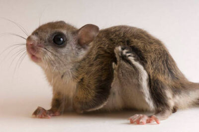 A northern flying squirrel (Glaucomys sabrinus) (three months old, male) at Wildlife Images, a rehabilitation center near Merlin, OR.