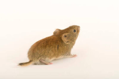 Studio portrait of a northern red-backed vole (Clethrionomys rutilus.)