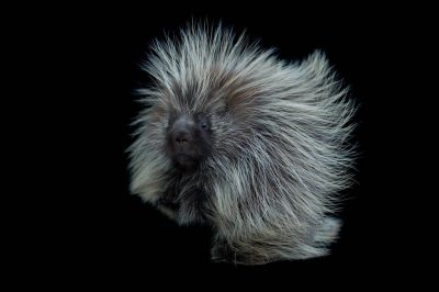 A porcupine (Erethizon dorsatum) at the Great Plains Zoo.