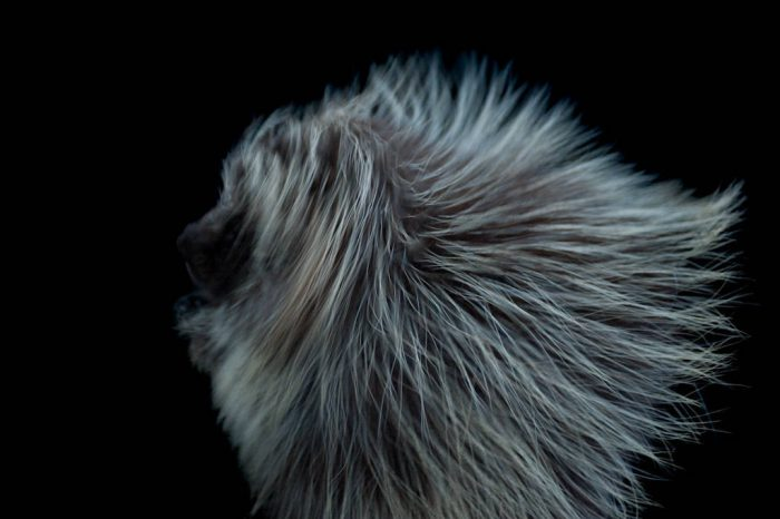 A female North American porcupine (Erethizon dorsatum bruneri) at the Great Plains Zoo.