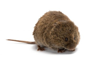 A meadow vole (Microtus pennsylvanicus pennsylvanicus) from Watertown, New York.