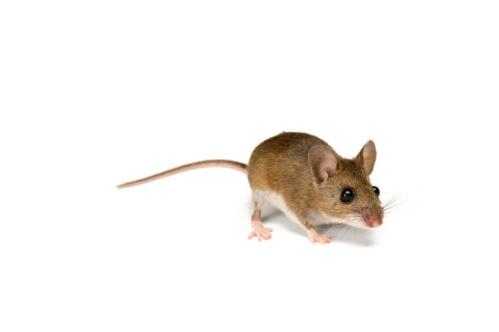 Picture of a deer mouse (Peromyscus maniculatus).