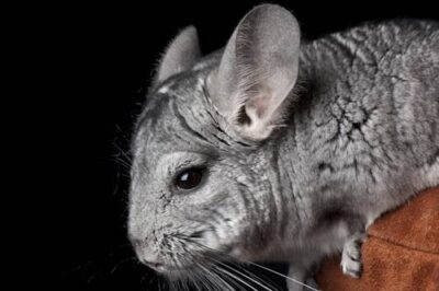Photo: A chinchilla at the Sunset Zoo.
