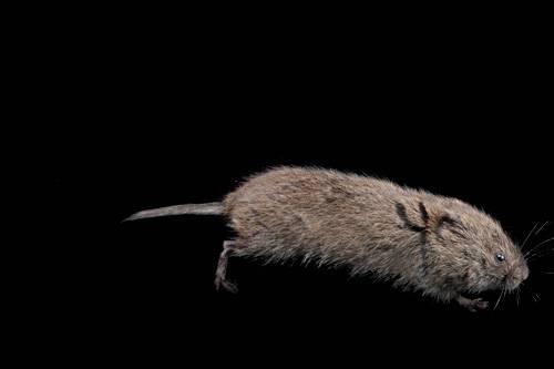A meadow vole (Microtus pennsylvanicus pennsylvanicus) from Lincoln, Nebraska.