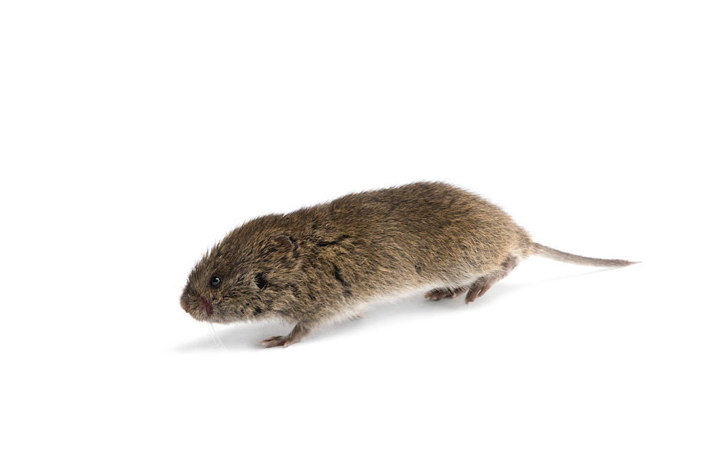 A meadow vole (Microtus pennsylvanicus pennsylvanicus) from Lincoln, Nebraska.