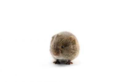 A meadow vole (Microtus pennsylvanicus).
