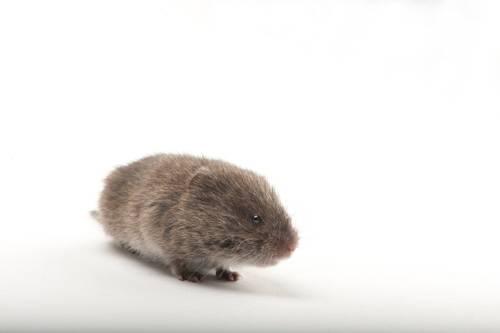 A meadow vole (Microtus pennsylvanicus).
