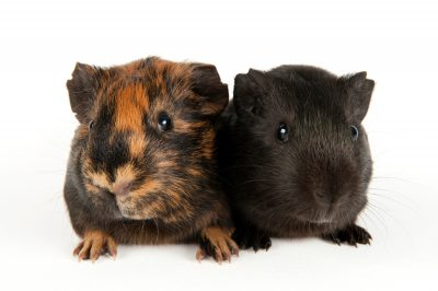 Photo: A pair of guinea pigs at the Capital Humane Society in Lincoln.
