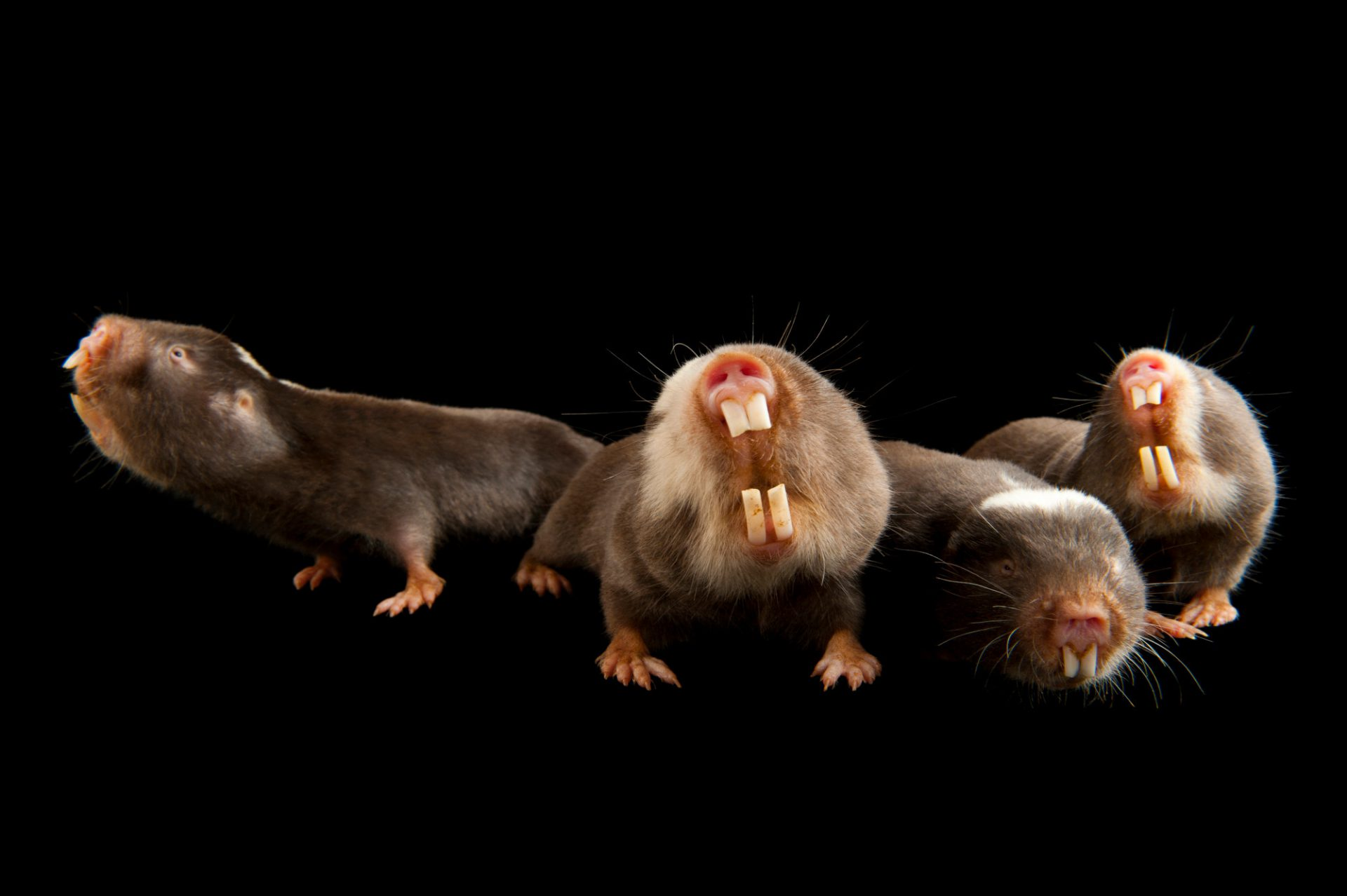 Damaraland mole rats (Fukomys damarensis) at the Houston Zoo. These burrowing rodents from sub-Saharan Africa are one of only two known eusocial mammals.