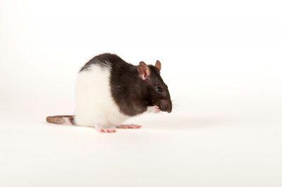 A fancy rat (Rattus norvegicus) at the Captial Humane Society.