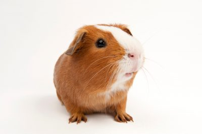 Photo: Rutherford, a guinea pig, at the Capital Humane Society in Lincoln.