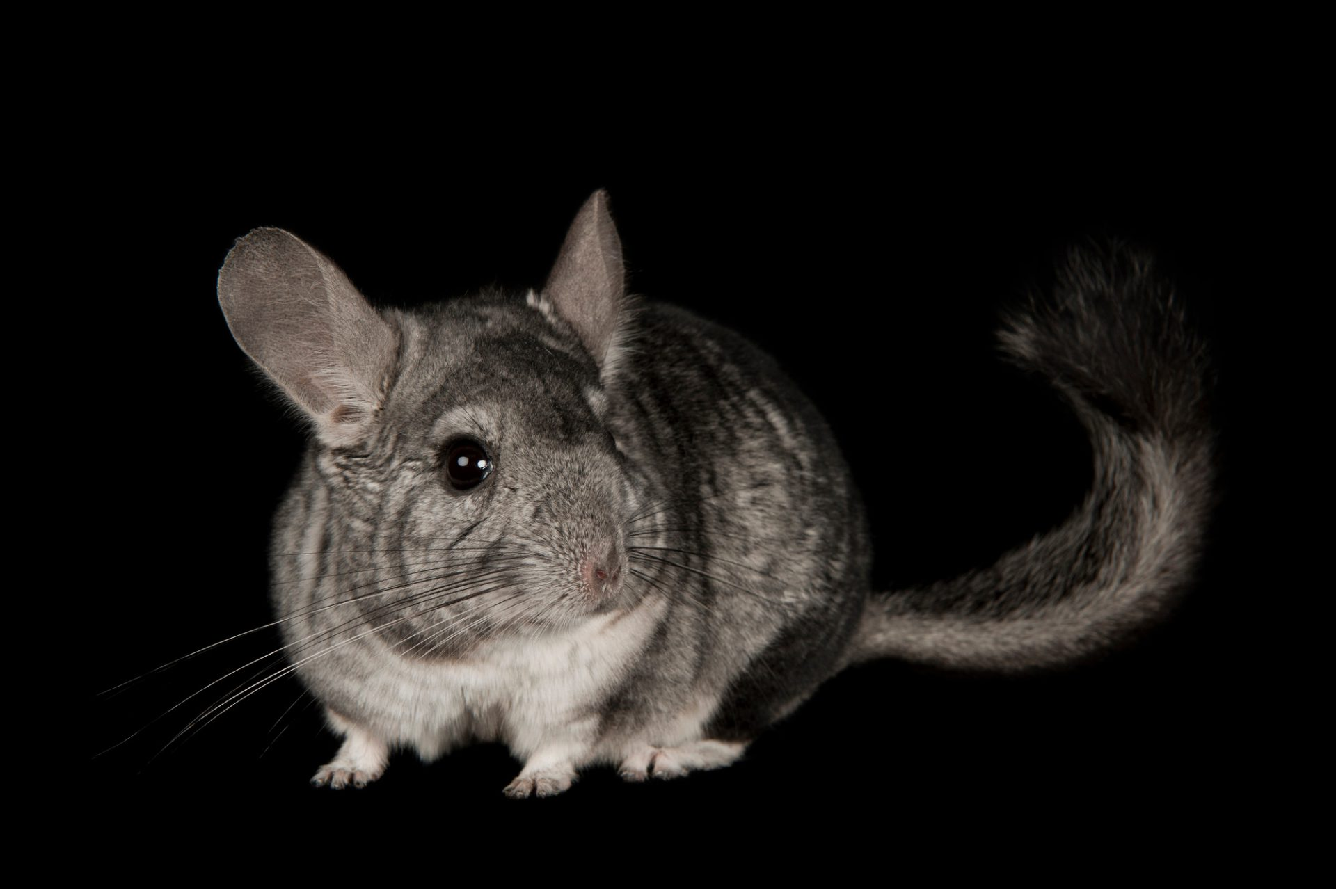 Photo: A long-tailed chinchilla at the Capital Humane Society in Lincoln.
